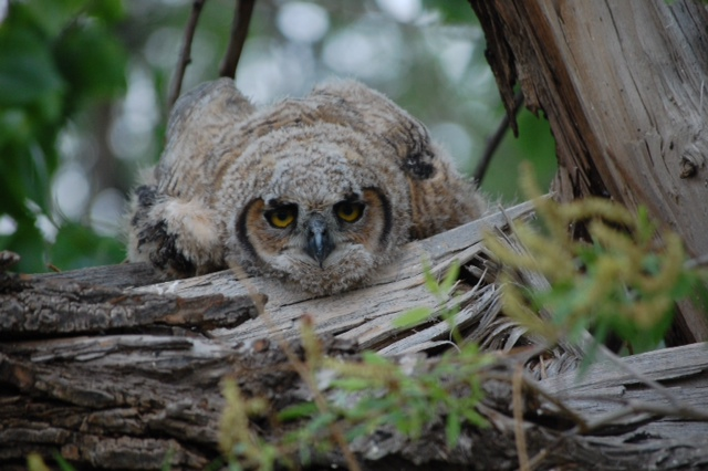 Baby Great Horned Owl in Morrison